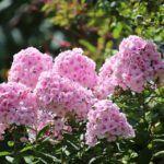 Flores Perennes: [Ejemplos, Cuidados, Características y Significado]