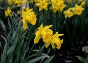 Flores Perennes - Narcisos
