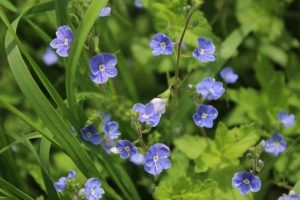 Flores Perennes - Verónica