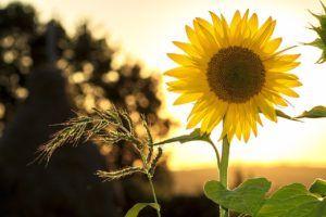 Flores de Temporada - Girasol