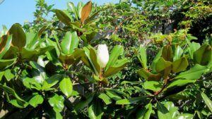 Plagas y enfermedades que atacan a la magnolia