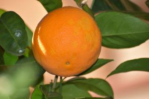 Por qué algunos frutos son comestibles - Naranja