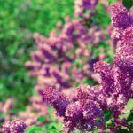 El Aroma y el Olor de las Flores: [Diferencia, Cómo se producen y Ejemplos]