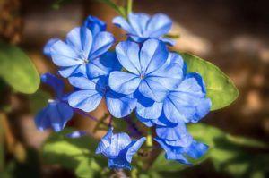 Qué significa el color azul en las flores