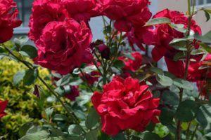 Qué significa el color rojo en las flores