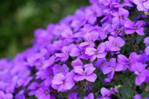 Qué significa el color violeta en las flores