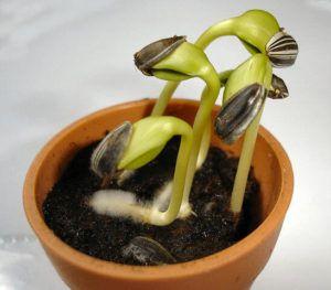 Qué tipos de germinación podemos encontrar - Germinación hipogea