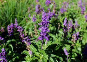 Salvia farinácea