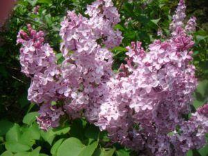 Significado de esta flor