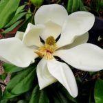 Magnolia: [Cultivo, Cuidados, Plagas y Enfermedades]