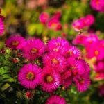 Flores Anuales: [Ejemplos, Cuidados, Características y Significado]