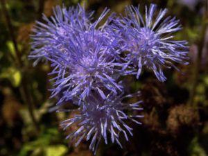 Significado de las flores bianuales