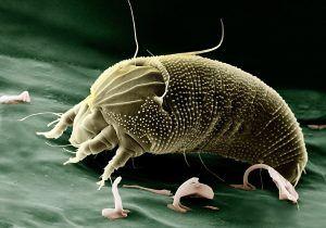 Qué plagas y enfermedades afectan a la maranta - Ácaros
