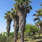 Palmera de California: [Características, Riego, Cultivo, Cuidados, Plagas y Enfermedades]