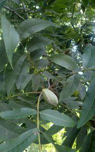 Qué características tiene el árbol pecano