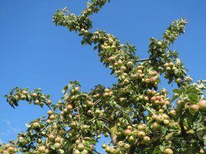 Qué características tiene el manzano