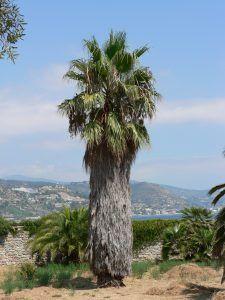 Qué características tiene la palmera de California