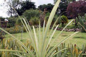 Qué características tiene la planta maya - Fruto