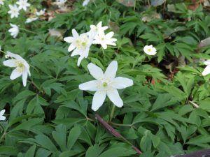 Qué características tiene la planta nemorosa
