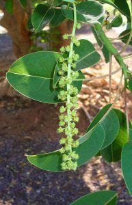 Qué características tiene la planta ombú