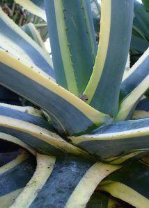 Qué características tiene la planta pita