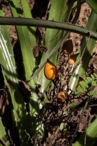 Qué plagas y enfermedades afectan a la maya