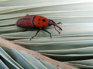 Qué plagas y enfermedades afectan a la palmera de California - Picudo rojo