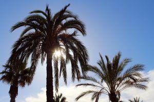 Qué significado tiene la palmera de California