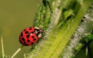 Qué plagas y enfermedades afectan al mezereón - Plagas