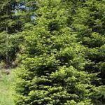 Abeto del Pirineo: [Características, Cuidados, Siembra y Problemas]
