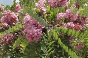 Acacia Rosa