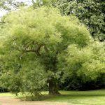 Acacia de Japón: [Características, Cuidados, Siembra y Problemas]