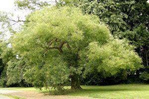 Acacia de Japón