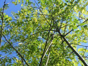 Cómo regar la acacia de Japón