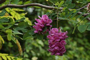 Cómo regar la acacia rosa