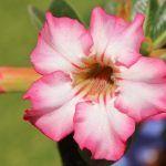 Rosa del Desierto: [Características, Riego, Cultivo, Cuidados, Plagas y Enfermedades]