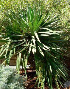 Cómo y porqué podar la planta de yuca péndula