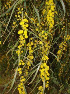 En qué estación es mejor cultivar la acacia plateada