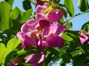 Qué características tiene la acacia rosa