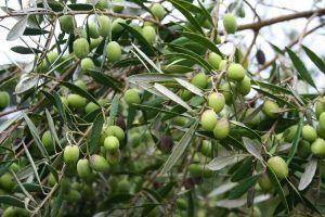 Qué características tiene la planta de aceituno