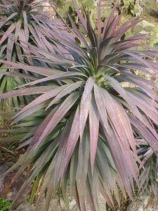 Qué características tiene la planta de yuca desmentiana