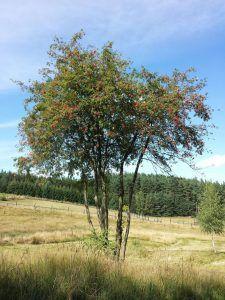 Qué características tiene la planta serbal silvestre