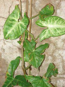 Qué características tiene la planta syngonium