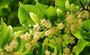 Qué plagas y enfermedades afectan a la planta de tilo