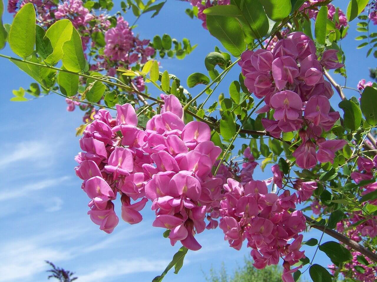 Qué significado tiene la acacia rosa