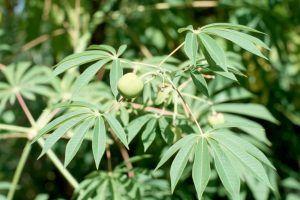 Qué significado tiene la planta de yuca