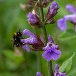 Salvia: [Características, Riego, Cultivo, Cuidados, Plagas y Enfermedades]
