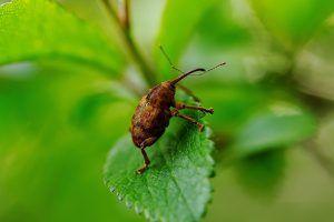 Qué plagas y enfermedades afectan al abeto del Pirineo