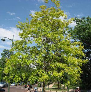 Acacia Bastarda