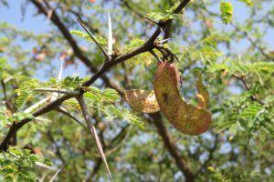 Acacia Búfalo de África